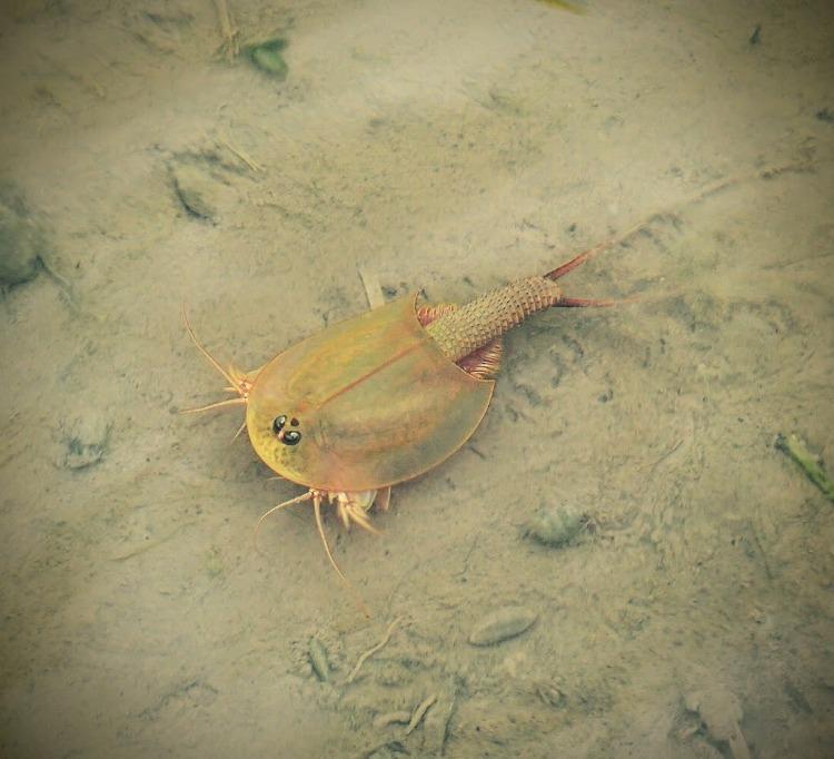 田んぼに暮らす「生きた化石」 カブトエビ – Monsters Pro Shop