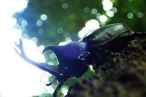 カブトムシ逆光