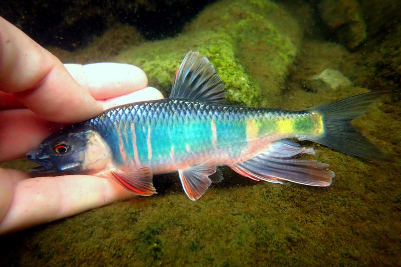 どこにでもいるけど超キレイ! 虹をまとった夏の雑魚「オイカワ」どこにでもいるけど超キレイ! 虹をまとった夏の雑魚「オイカワ」